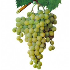 Виноград белый «Мускат»